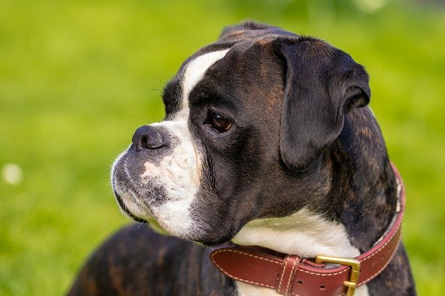 boxer dog photo